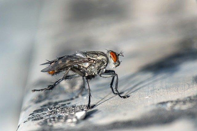 hmyz - moucha